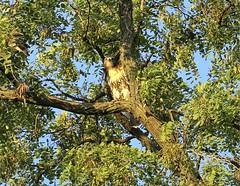 Tompkins Square fledgling (Goggla) Tags: nyc new york manhattan east village tompkins square park urban wildlife bird raptor red tail hawk fledgling juvenile