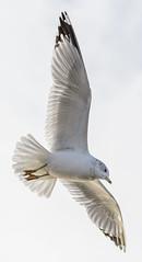 Gull (PMillera4) Tags: bird gull