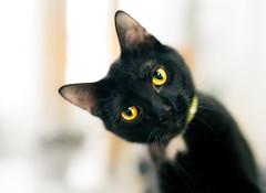 Hi... (Arutemu) Tags: portrait pet pets blur animal animals cat canon 50mm dof bokeh f14 kitty sigma shelter    petportrait   sigma50mm  canon6d  sigmaart sigma50mmf14dghsmart