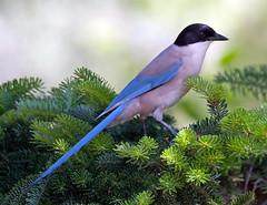 Azure Winged Magpie (David Gange) Tags: birds nikon azure spanish magpie winged tamron d300s 150600mm