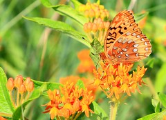 great spangled fritillary nectaring on butterfly milkweed at Decorah Prairie IA 854A9728 (lreis_naturalist) Tags: county butterfly great reis iowa larry prairie milkweed decorah spangled fritillary nectaring winnehiek