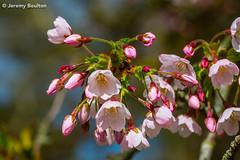 Spring Show (JKmedia) Tags: spring blossom shallowdof tree boultonphotography