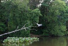 DSC_0032-2 (rlnv) Tags: bird heron animal newjersey flight princeton greatblueheron delawareandraritancanalstatepark 1855mmf3556gii nikond40x newjerseystateparks