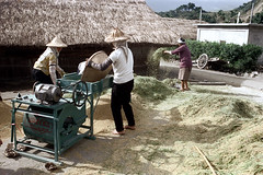 32-156 (ndpa / s. lundeen, archivist) Tags: houses homes winter people woman house color building fall film home rural 35mm buildings workers women village basket rice nick working taiwan machine barefoot worker thatchedroof 1970s 1972 hualien 32 taiwanese eastcoast unidentified thresher threshing dewolf rurallife thatchroof republicofchina easterncoast easterntaiwan nickdewolf photographbynickdewolf hualiencounty ricethresher threshingrice reel32