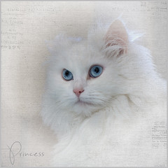 Princess (hehaden) Tags: rescue white texture face cat square persian kitty longhaired turkishangora artistictreasurechest