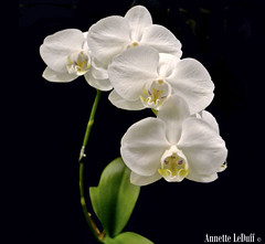 Pearl Orchids (Annette LeDuff) Tags: orchid flower beautiful flora orchidaceae ff fa favorited mothorchid finegold thegalaxy colorsonblack flowersforever perfectpetals flowersonblack heartawards platinumheartawards orchidamazingflower energiapositiva flowersandorcrystals worldofflowers florarte flowerbudsandblossoms michiganorchidsociety damniwishidtakenthat flickrsawesomeblossoms nikonflickraward nikonflickraward ohnonotanotherflower sublimemasterpiece florisbella blackintheback unforgettableflowers gardenparadise showthebest mamasbloomers bestofbeautiful lenguajedelasflores beautifulfloras sublimeflowershot composersbreath energiapositivaartecor energiapositivaminhaspreferidas florisbellaredwhite primaveraveranootooeinvierno awesomeorchids florisbellagold galeriadamaninhadomarco thegardenofmyheart floraaroundtheworld fineplatinum vivalavidalevel2 aboveandbeyond500 photoannetteleduff annetteleduff katiesflowerbox onlyorchids mastersofphotographygold 04012012 vivalavidal1 thepoker~photo~heart~art~group thephoto~heart~art~group groupwithxperience thelooklevel1red thelooklevel2yellow thelooklevel3orange thelooklevel4purple ourwonderfulandfragileworld thelooklevel5green thelooklevel6blue thelooklevel7white simplesmentebelosimplybeautiful madaboutflowers elmundodelasorqudeas aboveandbeyond500l2