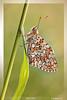 Melitea #1 (stefady78) Tags: macro nature canon butterfly sigma natura piemonte 105 farfalla sigma105 600d melitea micarttttworldphotographyawards micartttt rememberthatmomentlevel1 rememberthatmomentlevel2 rememberthatmomentlevel3
