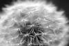 Dandelion (Robin@Home) Tags: blackandwhite bw plants macro nature closeup eos zwartwit 100mm dandelion seeds voorschoten vlietlanden redeker artlegacy