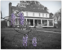 Wisteria at French Camp (Lane Rushing) Tags: flower mississippi bokeh frenchcamp wisteria selectivecolor natcheztrace shallowdof bigmomma herowinner storybookwinner storybookttwwinner