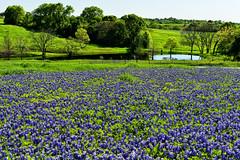 Spring Green and Bluebonnet Blue (Jeff Clow) Tags: flowers lake field rural dallas spring texas meadow dfw wildflowers bluebonnets d800 sugarridgeroad nikond800 bristoltexas