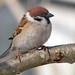 Tree Sparrow Notts WT (cpt Jarmo Viippola)