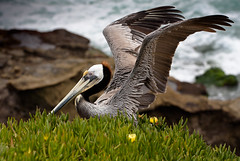 this much is true (sparkleplenty_fotos) Tags: ocean california sea bird grass bill wings rocks surf waves beak feathers lajolla pelican getty brownpelican gettyimages hss spreadwings licensedbygetty slidabit sohappysliderssunday