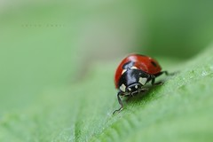 coccinella (salvix.) Tags: