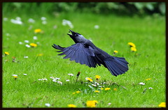 Kauw / Jackdaw / Corvus monedula. Catching  fly's (Eric Tilman) Tags: thegoldenachievement freedomtosoarlevel1birdphotosonly freedomtosoarlevel2birdphotosonly freedomtosoarlevel3birdphotosonly freedomtosoarlevel4birdphotosonly freedomtosoarlevel4birdsonly