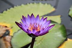 Pretty in purple (SamSpade...) Tags: water lily purple 413 abigfave damniwishidtakenthat bestofdamn 333512mar