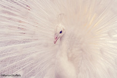 Peacock (SuperMarionBros) Tags: white nature beautiful animal animals angel peacock often oft