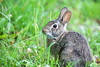 Munch (ibm4381) Tags: park rabbit small young madison owen eatinggrass canonef400mmf28lisiiusm 20xextenderiii