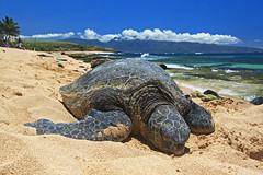 beach nap (bluewavechris) Tags: ocean life blue sea sky sun green nature water animal clouds hawaii sand surf peace turtle reptile wildlife scenic shell maui creature swell flipper hookipa