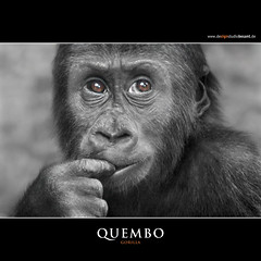 QUEMBO (Matthias Besant) Tags: animal animals mammal deutschland monkey tiere hessen gorilla ape monkeys mammals apes fell tier affen primates silverback affe primat silberruecken hominidae primaten querformat saeugetier saeugetiere menschenaffen hominoidea trockennasenaffe menschenartige mygearandme blinkagain flickrstruereflection1 affenfell menschenartig affenblick highqualityanimals rememberthatmomentlevel1 flickrsfinestimages1 matthiasbesantphotography