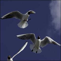 Got it! (Michael.DK) Tags: bread denmark seagull gull take envy caught caughtintheair top20blue