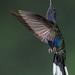 Violet Saberwing Hummingbird, Campylopterus hemileucurus,