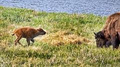 Bison (Pattys-photos) Tags: yellowstonenationalpark bison