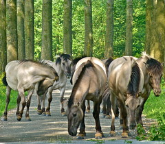 The Konik horses blocking the road . (Fijgje) Tags: horses lumix thenetherlands thorn paarden koniks konikpaarden middenlimburg fijgje mygearandme mygearandmepremium mygearandmebronze mygearandmesilver mygearandmegold mygearandmeplatinum mei2012 panasonicdmctz30 panheeldersteeg veeroosterindeweg kuddejongemerries herdofyoungmares