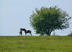 A tender moment (Sly 66) Tags: horses horse pony devon ponies moor dartmoor hawthorn clearbrook dartmoorpony