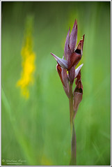 Serapias vomeracea (Stefano Rossi Photography) Tags: flower macro canon campo fiore prato orchidea selvatica raptor21 stefanorossiphotography