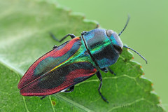 Glowing jewel I (Nikola Rahme) Tags: macro nature insect beetle earlymorning coleoptera focusstack buprestidae fieldshooting jewelbeetle canoneos5dmarkii canonmpe65mmf28 berlebachminitripod linearstage asahipentaxmacrorail