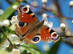 Peacock butterfly (Kay Musk) Tags: ngc peacockbutterfly olympuse500 thegalaxy coth5 allnaturesparadise allofnatureswildlifelevel1 allofnatureswildlifelevel2 allofnatureswildlifelevel3 allofnatureswildlifelevel4 allofnatureswildlifelevel5 allofnatureswildlifelevel6 allofnatureswildlifelevel7