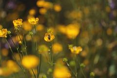 Buttercap [Ranunculus] (sarmatiaeuropea) Tags: doublefantasy floralfantasy floraandfaunaoftheworld
