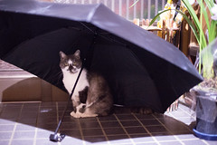 Mew, I'm ready for rainy season (Takashi(aes256)) Tags: animal umbrella cat  miyako    nikond4 nikonafsnikkor50mmf14g