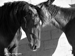 (© Lluvia fotografía) Tags: españa detalle blancoynegro valencia caballo caballos tristeza europa retrato olympus verano corral granja exteriores ternura revisar e520