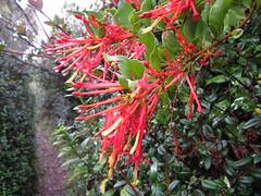 Flores de un quintral en Punta Curiñanco (Noelbua) Tags: punta quintral curiñanco