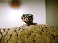 Patty 2 (The Original Marquis) Tags: gecko patty leopardgecko thegeckodiaries onthemarquis