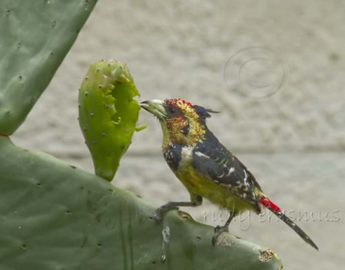 Crested Barbet  eating Prickly Pear  9971
