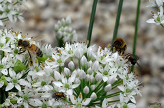 Bees on my chives (pat.bluey) Tags: flowers bees australia newsouthwales blacktown 1001nights chives 1001nightsmagiccity hennysgardens sunrays5