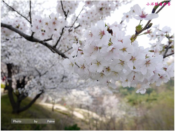 首爾鞍山公園櫻花道안산공원벚꽃길 (15).jpg