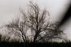 our weary eyes still stray to the horizon (Damla zcan) Tags: tree film analog 35mm canon photography ae1 200 program asa fujicolor