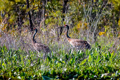 Sandhill Cranes (Lallee) Tags: ranch lake bird nature canon florida cranes sandhill