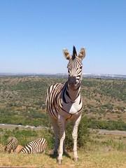 pajama donkey (marius_loots) Tags: animal motorola zebra moto groenkloof