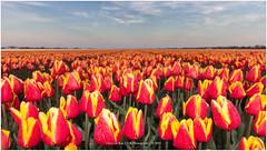 Dutch flowers, Alkmaar Netherlands (CvK Photography) Tags: flowers holiday color nature netherlands canon landscape spring europe tulips nederland tulip nl alkmaar noordholland northholland stompetoren