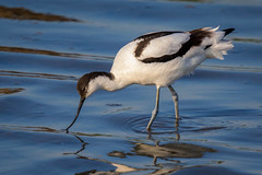 Avocet (ianjoseph273) Tags: wildlife trust warren worcestershire upton avocet flashes