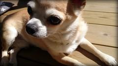 Melker sunbathing. (Papa Razzi1) Tags: dog chihuahua spring may sunbathing basking 2016 melker 7168 128365