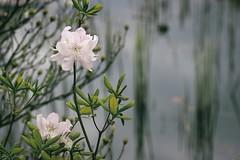 *** (pszcz9) Tags: flower nature closeup spring bokeh sony botanicgarden a77 wiosna przyroda kwiat beautifulearth ogrdbotaniczny zblienie