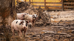 Hello Piggies (jayneboo) Tags: animals woods spotty pigs snout