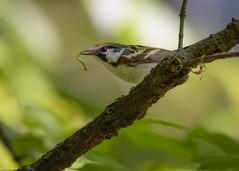 Chestnut-sided Warbler,  (Sed Navs) Tags: nikon chestnutsidedwarbler setophagapensylvanica