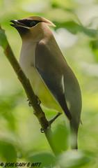 Cedar Waxwing (orencobirder) Tags: birds flickrexport smallbirds waxwings