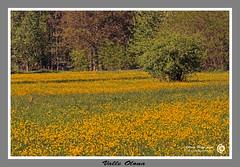Valle Olona 2 (filippi antonio) Tags: flowers trees primavera nature colors yellow alberi landscape spring natura giallo fiori lombardia paesaggio valledaosta varesotto lonateceppino